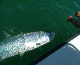 tampa tarpon fishing